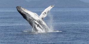Thrive Humpback Whale